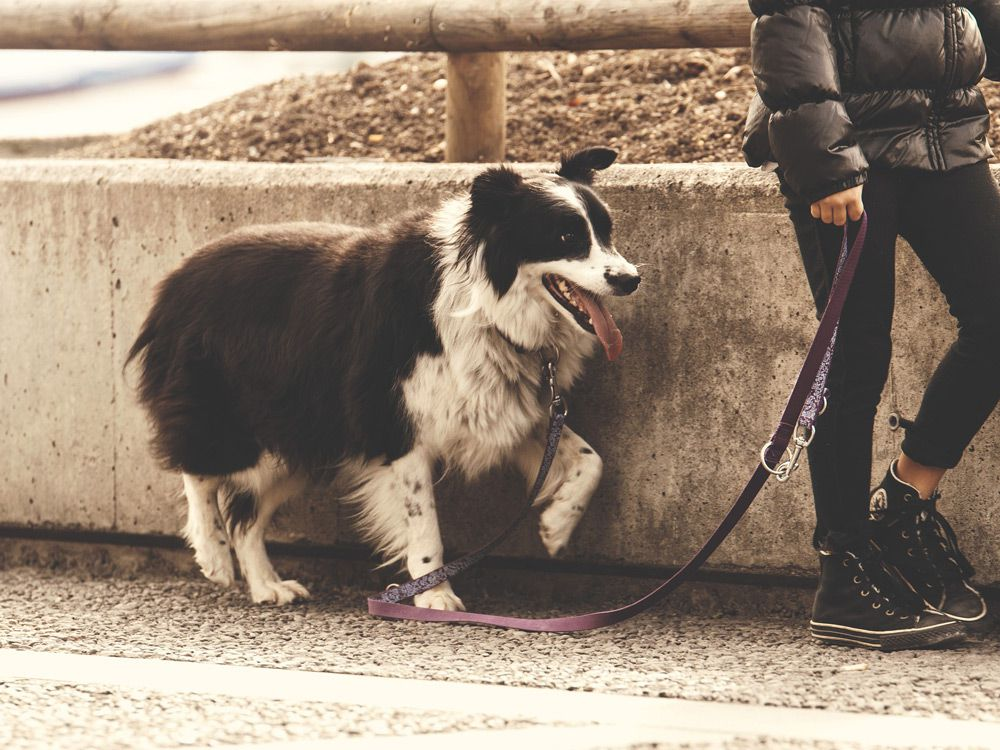 Border collie for a walk