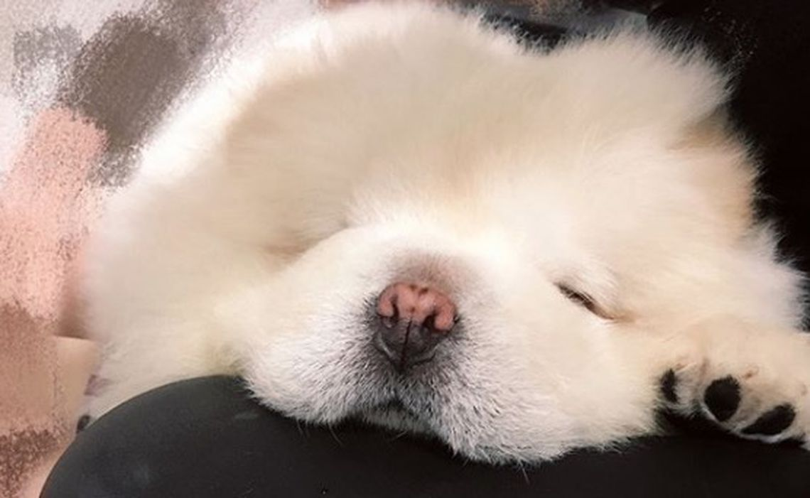 Puffie the Chow
